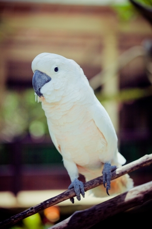 white bird parrot cockatoo  sitting on branch  photo