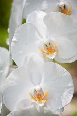 flowers of orchid photo