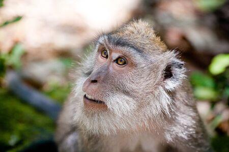 monkey  in Ubud monkey forest, Bali, Indonesia