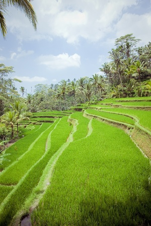 Rice Fields, Bali, Indonesia Stock Photo - 18032093