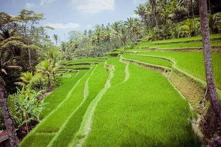 Rice Fields, Bali, Indonesia Stock Photo - 18032099