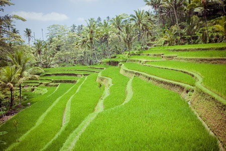 Los campos de arroz, Bali, Indonesia photo