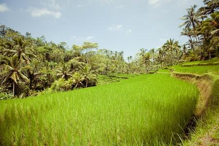 irrigation field: Rice Fields, Bali, Indonesia