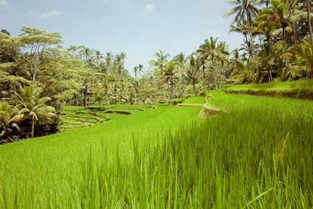 Rice Fields, Bali, Indonesia photo
