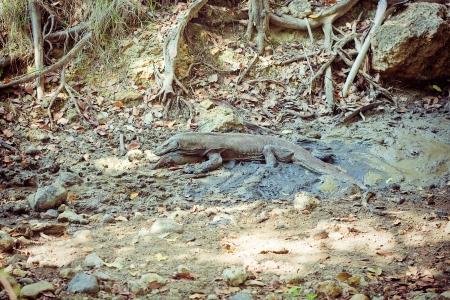 komodo island: komodo gragon in nature  Komodo island