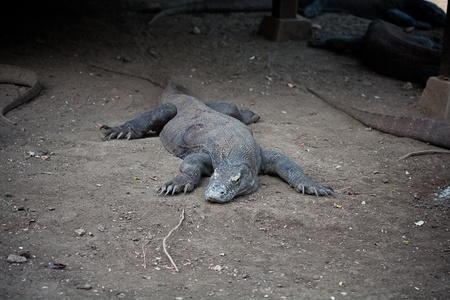 komodo: komodo gragon in natura Isola di Komodo