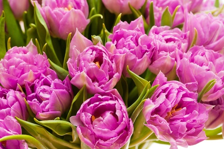 Beautiful purple tulips  photo