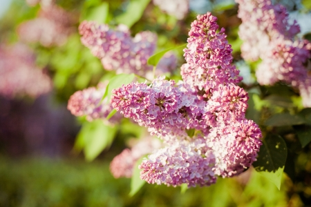 Branch of lilac on a natural background  photo