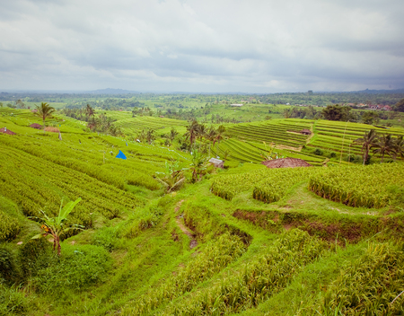 Rice Fields Terrace in Bali island, Indonesia photo
