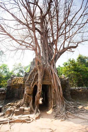 strangler: Ta Som temple, Angkor area, Siem Reap in  Cambodia Stock Photo