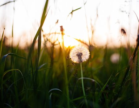 natural light: Dandelions in meadow at sunset.