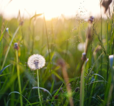 meditative: Dandelions in meadow at sunset.