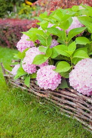 bigleaf hydrangea: great bush of pink flower hydrangea blooming in the garden