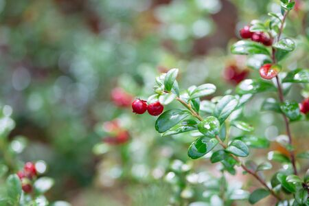blueberry bushes: Cowberry. Bushes of ripe forest berries. Selective focus