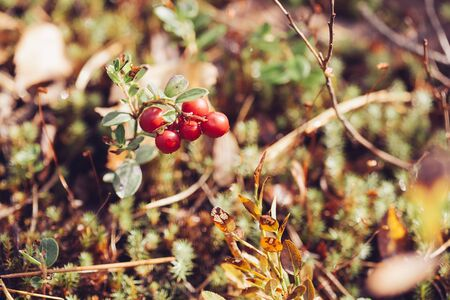 blueberry bushes: Cowberry. Bushes of ripe forest berries. Selective focus, vintage colours Stock Photo