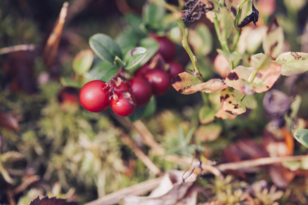 cowberry: Cowberry. Bushes of ripe forest berries. Selective focus