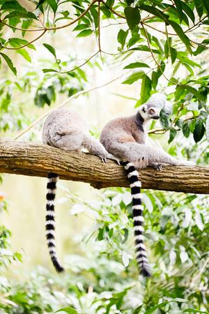 monkies: Ring-tailed lemur (Lemur catta) in nature