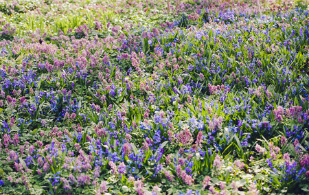 corydalis: Field of blue (Scilla sibirica) and violet (Hollowroot, Corydalis cava) spring flowers. Macro photo Stock Photo