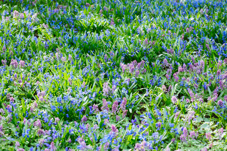 cava: Field of blue (Scilla sibirica) and violet (Hollowroot, Corydalis cava) spring flowers. Macro photo Stock Photo