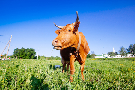 nostril: Curious brown cow on the meadow in summer sunset