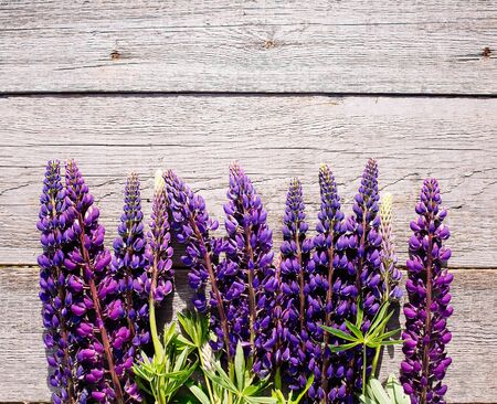 lupines: Violet lupines on wooden background.