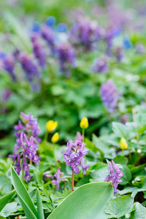 Field of  violet (Hollowroot, Corydalis cava) spring flowers. Macro photo Stock Photo