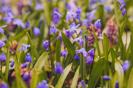 Field of blue (Scilla sibirica) spring flowers. Macro photo Stock Photo
