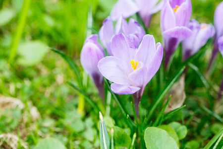 Group of Purple crocus (crocus sativus) with selectivesoft focus and diffused background in early spring,