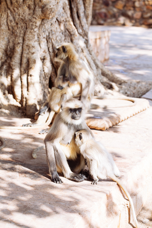 Gray langurs monkey. Rajasthan, India Stock Photo