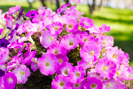 Beautiful pink petunia flowers (Petunia hybrida) in garden soft focus