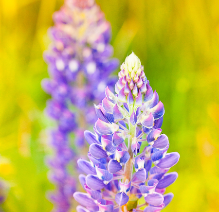 Wild-growing flowers of a lupine in the field in the sunset sun 版權商用圖片