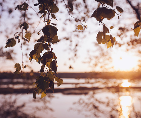 A set of fresh birch leaves in the sunset with a beautiful blurry background. Image has a vintage effect. 写真素材 - 119299622