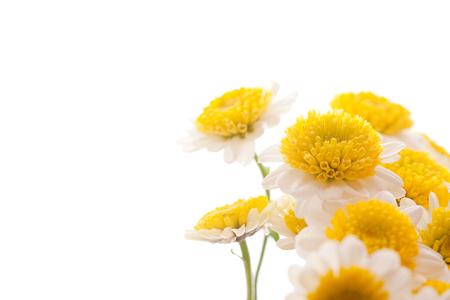 kwiat rumianku na białym tle