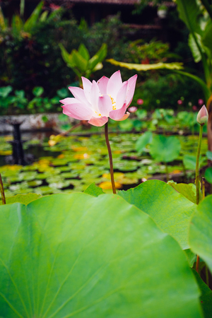 Pink Lotus on the pond on Bali island