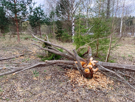 Tree damaged by  beavers. Negative activity of beavers in forest