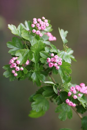 The pink Hawthorn