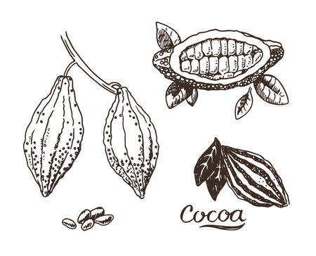 seeds coffee: Hand drawn cocoa sketch illustration