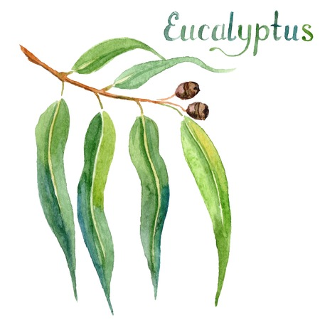 gum tree: Eucalyptus leaves and branch watercolor hand drawn vector illustration