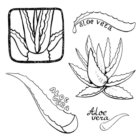 vera: Aloe vera vector hand drawn sketch set. Healing and cosmetics herb.