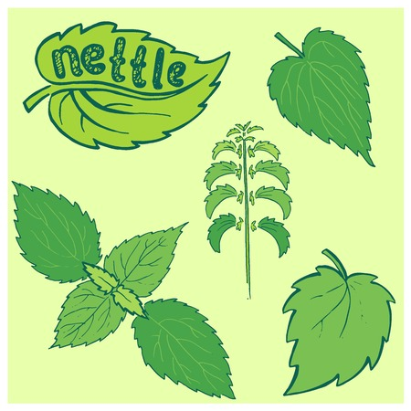 nettle: Set of green nettle branch and leaf. Vector illustration.