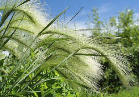 mat-grass, summer, wind  sunnily close up