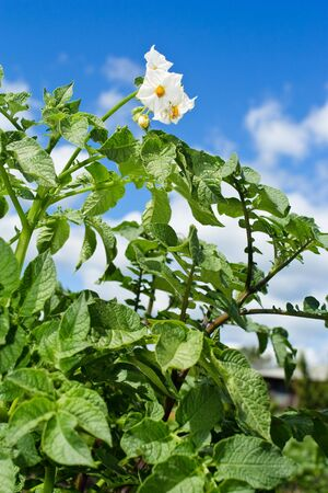 Blossoming bush of a potato in solar weather