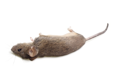 The dead mouse is isolated on a white background Stock Photo