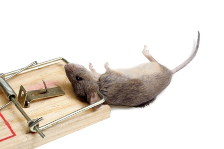 The mouse in a mousetrap it is isolated on a white background Stock Photo