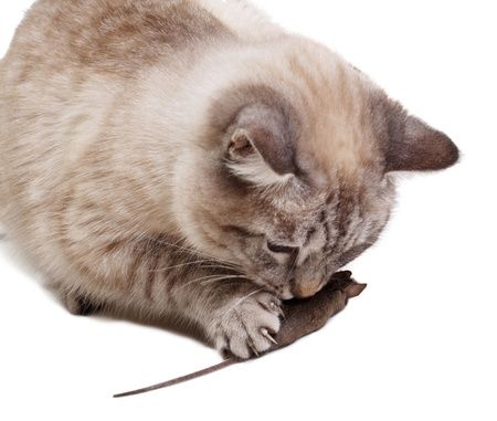 The cat holds the caught mouse a paw Stock Photo
