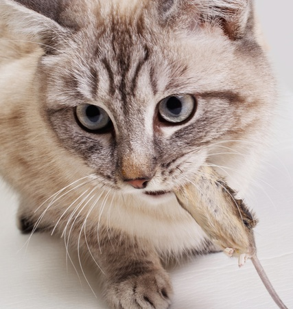 The cat holds the caught mouse in a teeth Stock Photo