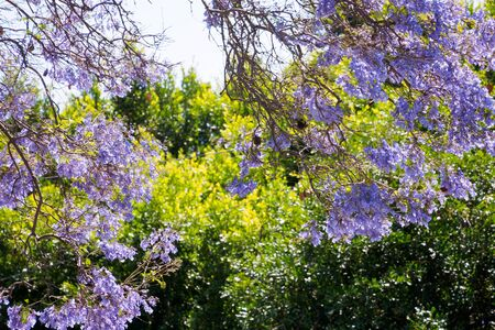 bloom: Jacaranda bloom