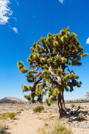joshua tree, Joshua Tree National Park, CA USA Stock Photo