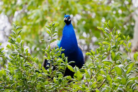 bawl: male peacock on tree