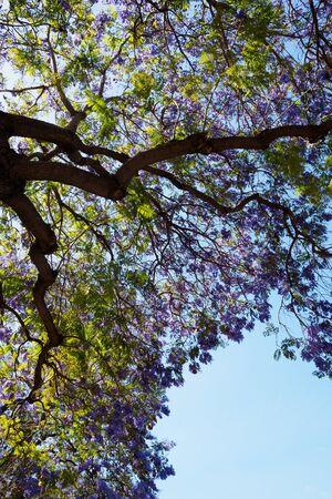 made in usa: jacaranda bloom with blue sky Stock Photo
